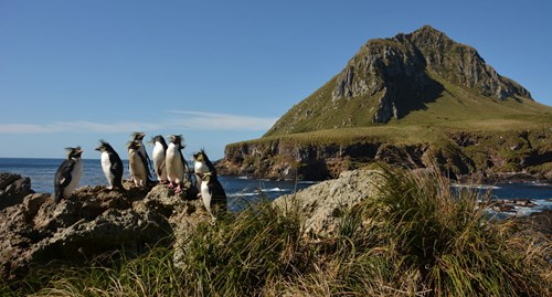 Northern rockhopper penguins