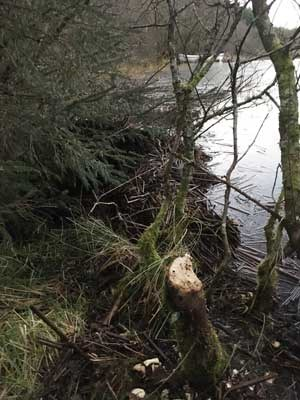 Evidence of beaver activity at Knapdale - a freshly cut stum and dam - RZSS Scottish Beavers
