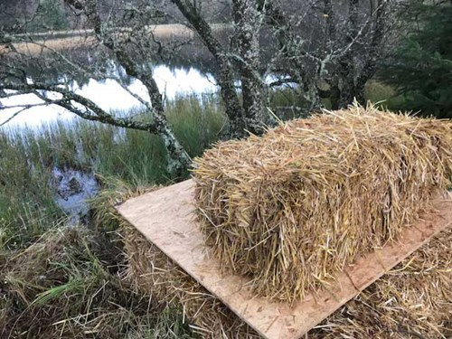 RZSS Scottish Beavers - Alba's artificial lodge made out of wood and hay bales - week 1