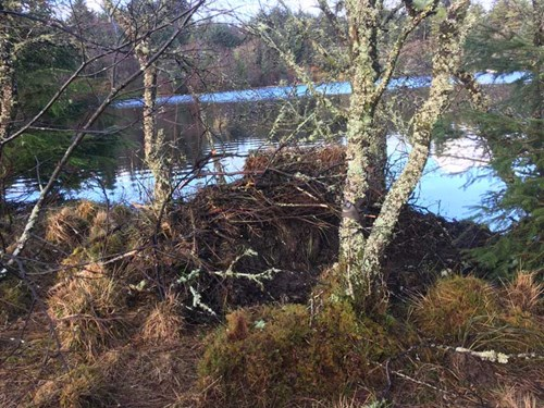 RZSS Scottish Beavers - Alba's lodge is now completed covered and difficult to see - week 11