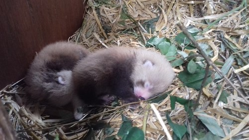 Red panda kit babies at Highland Wildlife Park. Photo by Una Richardson