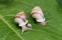 Three partula snails on a green leaf