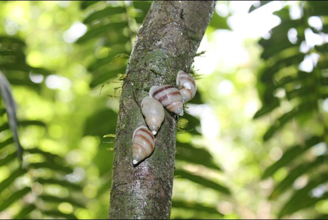 Partula snails after reintroduction in French Polynesia