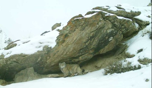 Pallas's cat seeking shelter in the snowy mountains of Kyrgyzstan