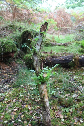 New growth of Rowan following beaver felling activity at Loch Coille Bharr, this will become shrub-like in years to come. Photo by Ben Harrower, Scottish Beavers
