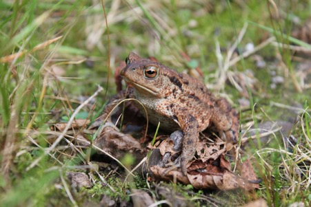 Common toad on the edge of Lily loch. Photo by Ben Harrower, Scottish Beavers