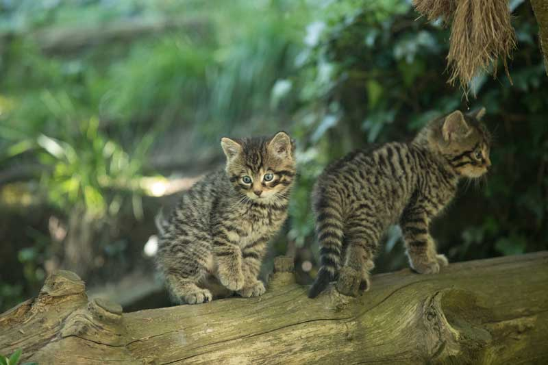 Two Scottish Wildcat kittens at RZSS Edinburgh Zoo