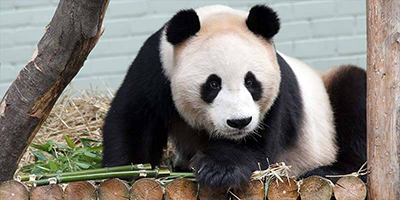 Giant panda at Edinburgh Zoo