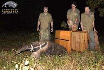 Giant anteater is released with a GPS tracking device as part of the Anteaters and Highways project