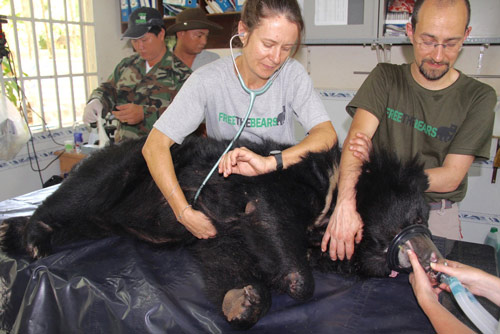 RZSS Veterinary Surgeon, Romain Pizzi, performing a health check on a moon bear in Vietnam