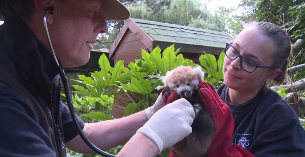 Red panda kit first health check with head vet Simon Girling and keeper Leanne Deacon