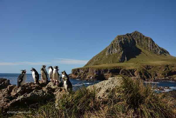 A group of northern rockhopper on Alex island, in the Atlantic Ocean, picture: Antje Steinfurth